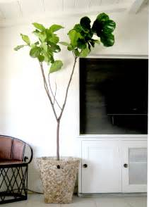 Indoor Fiddle Leaf Fig Trees