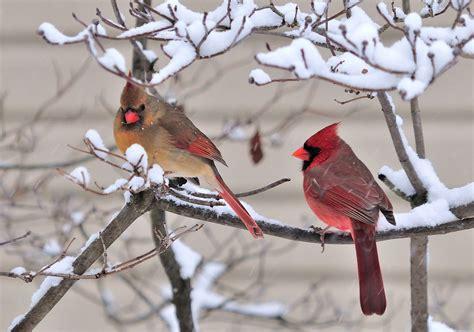 cathys craft corner cardinals   snow   rain