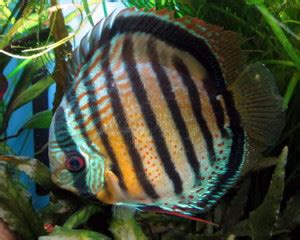red spotted green discus symphysodon aequifaciatus sp