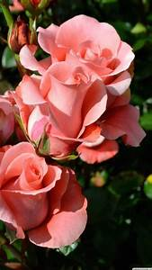 Beautiful Rose Flowers Hd Wallpapers For Mobile ...