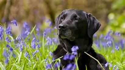 Labrador Retriever Wallpapers Definition