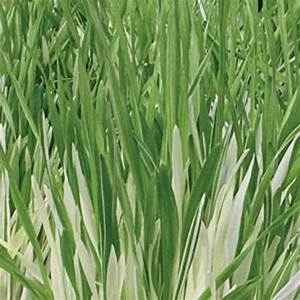 Graine Herbe A Chat : graines d herbe chat panach e hordeum vulgare variegata ~ Melissatoandfro.com Idées de Décoration