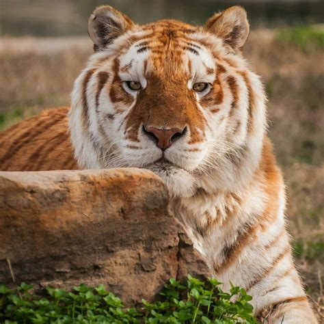Beautiful Golden Tabby Tiger Animals Pinterest