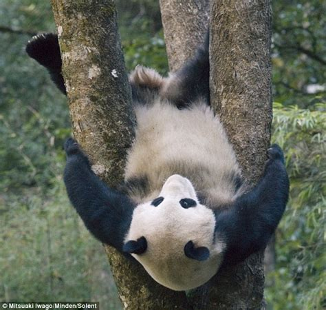 giant panda cub shows   gymnastic skills  hanging