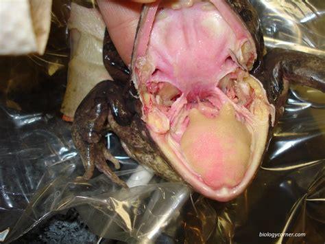 exploringbio  site dissection frog