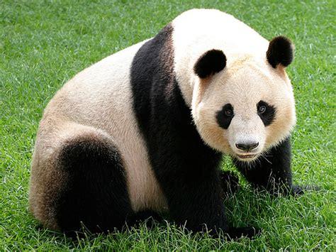 Giant Panda Gavenlovesanimals2004 Wiki Fandom