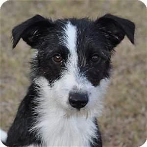 Buffy   Adopted Puppy   530   Garland, TX   Border Collie ...
