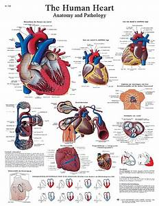 Trigger Point Referred Chart Human Heart Chart Vr1334 For Sale Anatomy Now