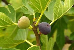 Feigenbaum Im Kübel : feigenbaum pflege vermehren und schneiden ~ Lizthompson.info Haus und Dekorationen