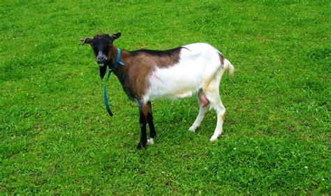 goat farm animals domestic animal brown goats grass field cattle foal pasture horse vertebrate grazing mammal grassland meadow mare mustang