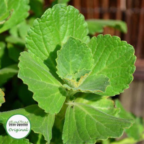 buy coleus plants buy coleus canina green scardy cat plugs online babyplants