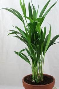 Kentia Palme Braune Blätter : areca palme pflege kleskab skuffe ~ Watch28wear.com Haus und Dekorationen