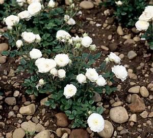 mini rosier planter et cultiver ooreka With modeles de rocailles jardin 4 gypsophile planter et cultiver ooreka