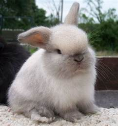Sable Point Holland Lop
