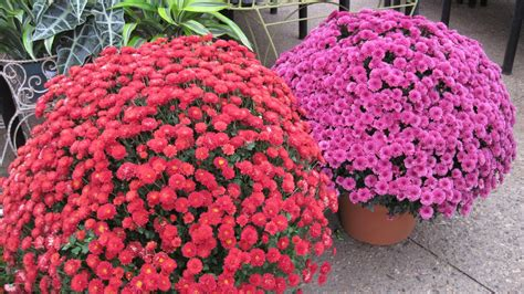 hardy mums plants flowers and such hardy mums are here