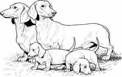 Coloring Dog Pages Breed Daschunds
