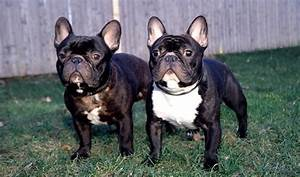 French Bulldog Full Grown Size Photo - Happy Dog Heaven