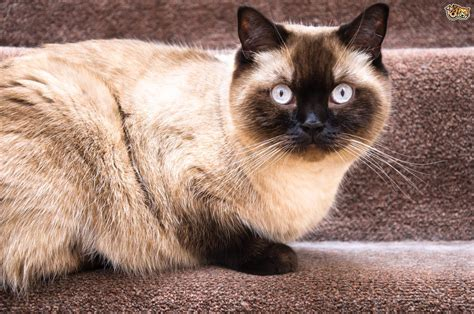 Shorthair Cat by Shorthair Cat Breed Information Buying Advice