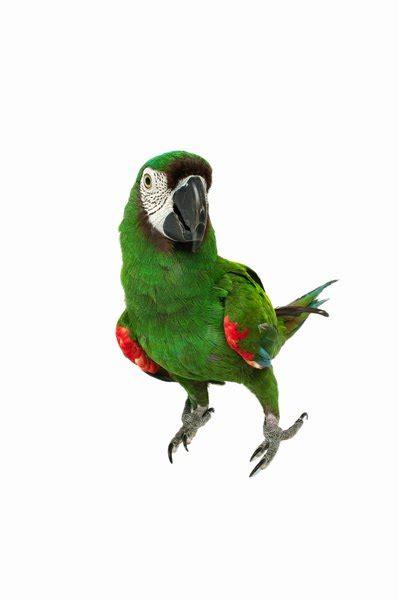 average lifespan  parrots pets