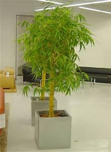 Weidenruten Zum Pflanzen Kaufen : bambus pflanzenshop winterharte sorten heckenpflanzen ~ Eleganceandgraceweddings.com Haus und Dekorationen
