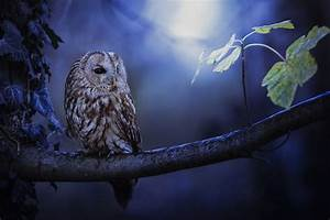 Tawny Owl In Moonlight, HD Animals, 4k Wallpapers, Images ...