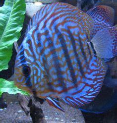 discus fish types discus fish types