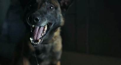Dog Belgian Malinois Snarling Dead Pretty Clink