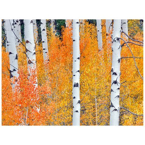Fall Aspen Tree II Indoor/Outdoor Canvas Art
