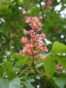 Pflanze Lila Blätter : kostenlose foto baum ast bl hen wachstum blatt blume lebensmittel fr hling rot ~ Eleganceandgraceweddings.com Haus und Dekorationen