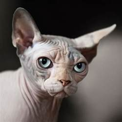 hairless cat breeds sphynx cat breed information and facts with pictures