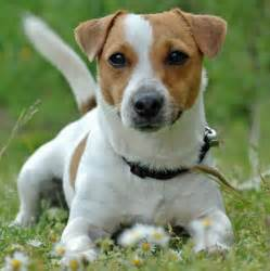 Le Chien Russel by Jack The Jack Russell Terrier Dogs Daily Puppy