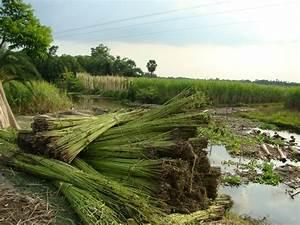 Jute cultivation