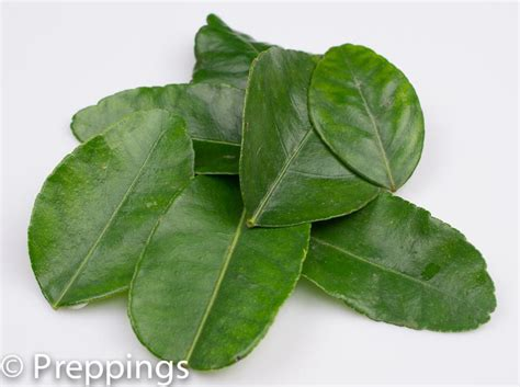 lime leaves browse online culinary dictionary food dictionary chef s reference