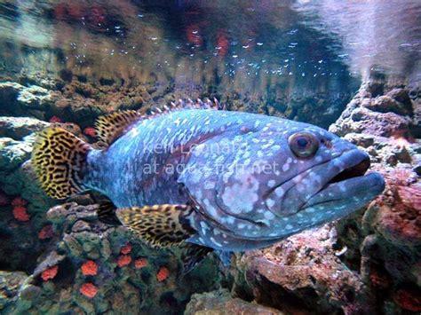 grouper queensland fish giant saltwater epinephelus species sponsored links alchetron spotted orange brown goliath aqua