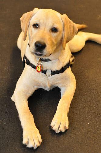 La Dor Retriever Puppy Flickr P O Sharing