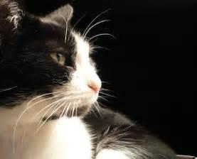 black cat white cat file black and white cat named leafy zenera 03 jpg