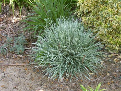 small ornamental grasses grass garter grass