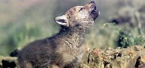 Lobo ibérico, esos detalles que marcan la diferencia