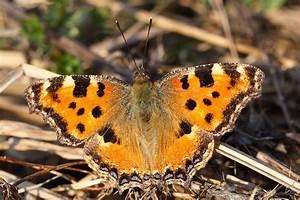 Bedeutung Schmetterling In Der Wohnung : bund schmetterling des jahres 2018 der gro e fuchs ~ Watch28wear.com Haus und Dekorationen