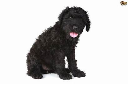 Terrier Russian Dog Puppy Breed Breeds Facts