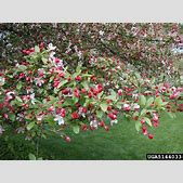 crabapple and a...