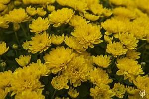 Yellow Chrysanthemum by melintir on DeviantArt