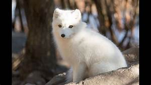 Arctic Fox - Facts And Figures