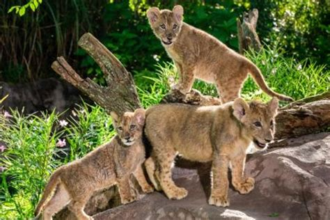 update lion cub sisters  busch gardens tampa bay