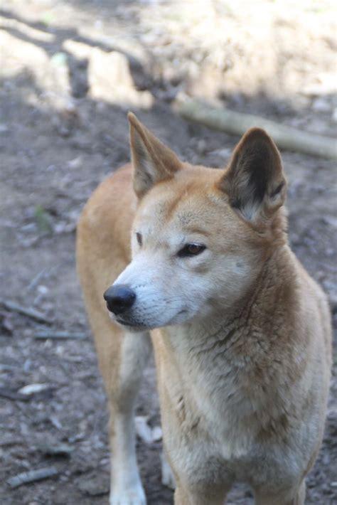 dingo australian zoo park animal