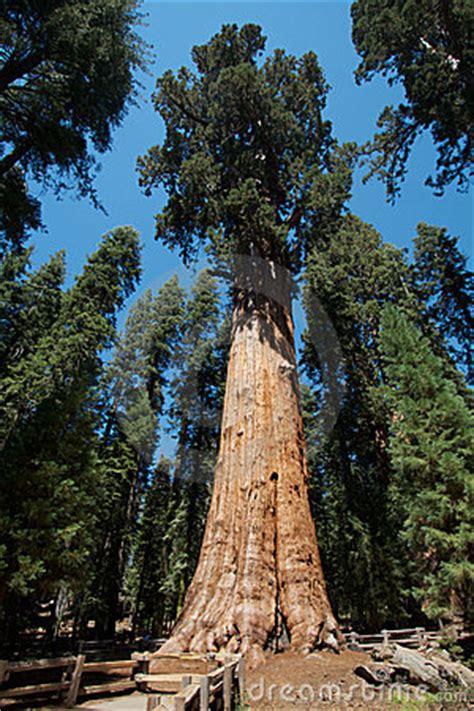 general sherman tree royalty  stock  image