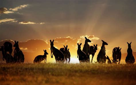 kangaroo wallpapers images  pictures backgrounds