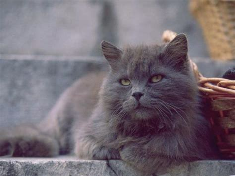 chat persan gris le chat persan gris galerie d images