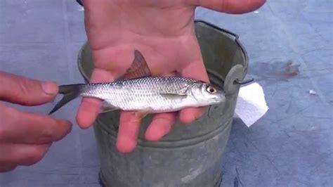 comment cuisiner le sandre comment et avec quoi pêcher le sandre technique de pêche