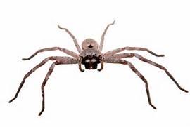... .wikimedia.org/wikipedia/commons/e/ea/Huntsman_spider_white_bg03.jpg